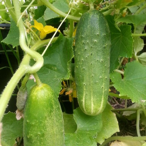 Cucumbers-ready-to-pick-in-9-weeks