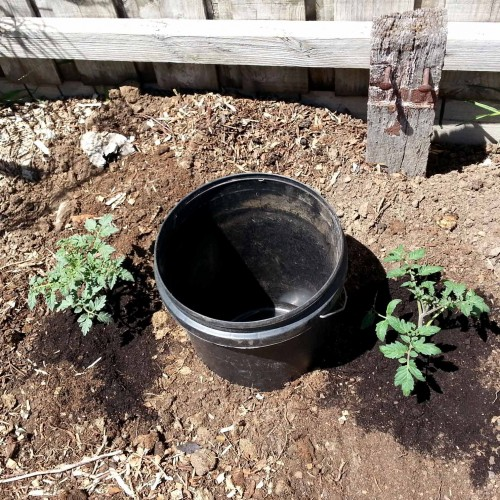Planting-tomato-seedlings-around-the-bucket