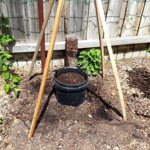 Setting-up-a-bucket-and-teepee-for-the-cucumbers